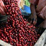 Buenavista coffee plantation in las terrazas