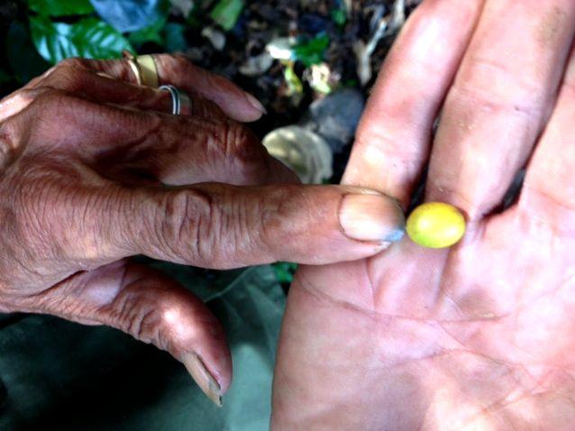 Coffee plantation tour at Finca La Magdalena, Ometepe